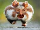 Sticker ruthveun risitas hamster heri hamtaro court rigole course poursuite fuite fuir animal mignon
