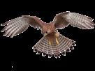 Sticker risitas faucon oiseau plume