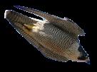 Sticker other rapace oiseau pique plume faucon aigle