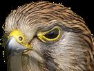 Sticker other oiseau faucon pique plume aigle rapace cible tueur regard