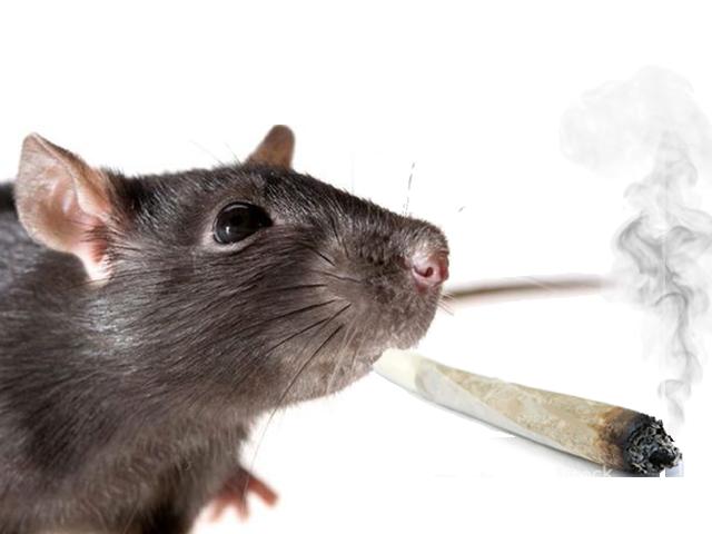 Sticker other rat spliff bedo drogue lsd oinj beuh weed shit pilon defonce